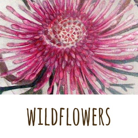 a coloured pencil drawing by Mandy Evans of a striking Western Australian wildflower - the  rose cone flower